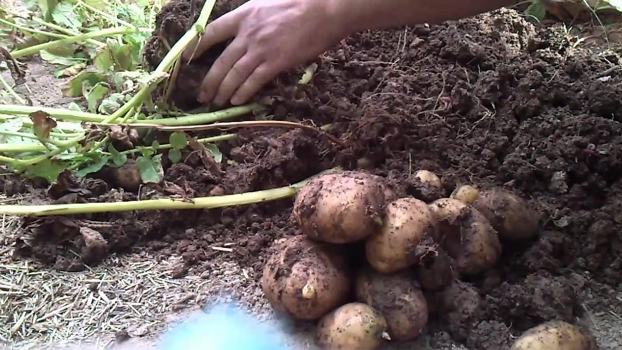 patates-organikciyizbiz