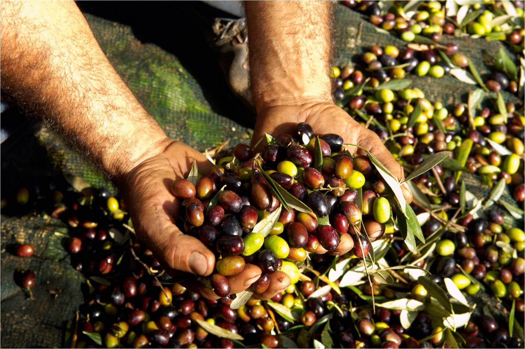 zeytin-organikciyizbiz