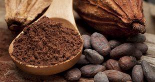 organik kakao