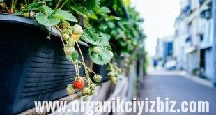 evde meyve yetiştirmek