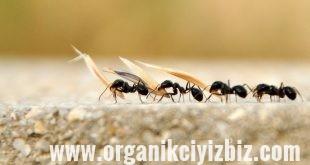 karıncalar için çözüm
